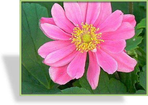 Herbst-Anemone, Japan-Anemone, Anemone japonica 'Pamina'