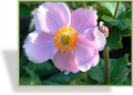 Herbst-Anemone, Japan-Anemone, Anemone japonica 'Septembercharm'
