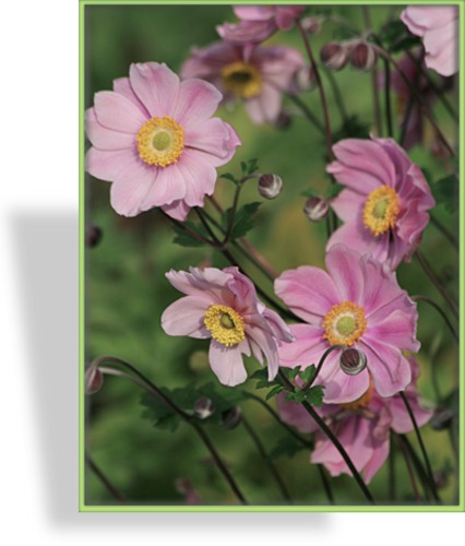 Herbst-Anemone, Japan-Anemone, Anemone japonica 'Serenade'