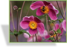 Herbst-Anemone, Japan-Anemone, Anemone japonica 'Splendens'