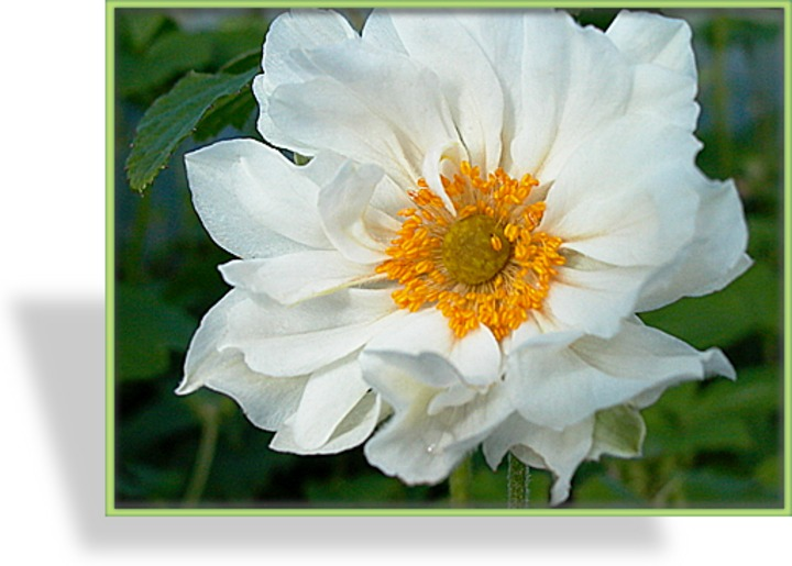 Japan Anemone Herbst Anemone