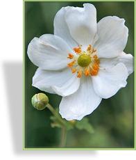 japan anemone herbst anemone. Black Bedroom Furniture Sets. Home Design Ideas