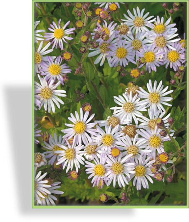 Aster, Wildaster, Aster ageratoides 'Asran'