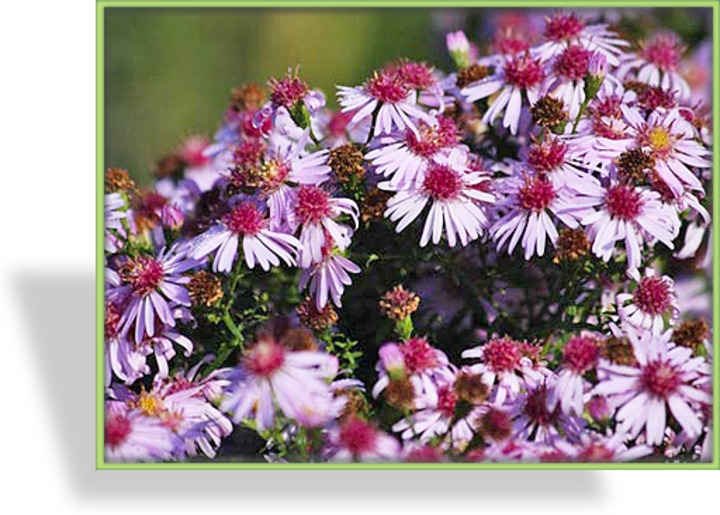 Aster, Wildaster, Aster laterifolius horizontalis 'Coombe Fishacre'