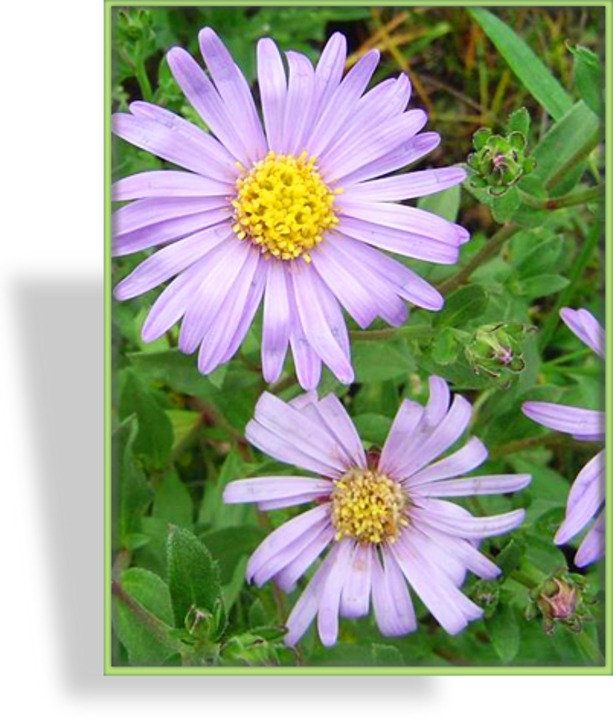 Aster, Bergaster, Aster amellus 'Dr. Otto Petscheck'