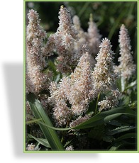 Prachtspiere, Astilbe hybride 'Younique Salmon'