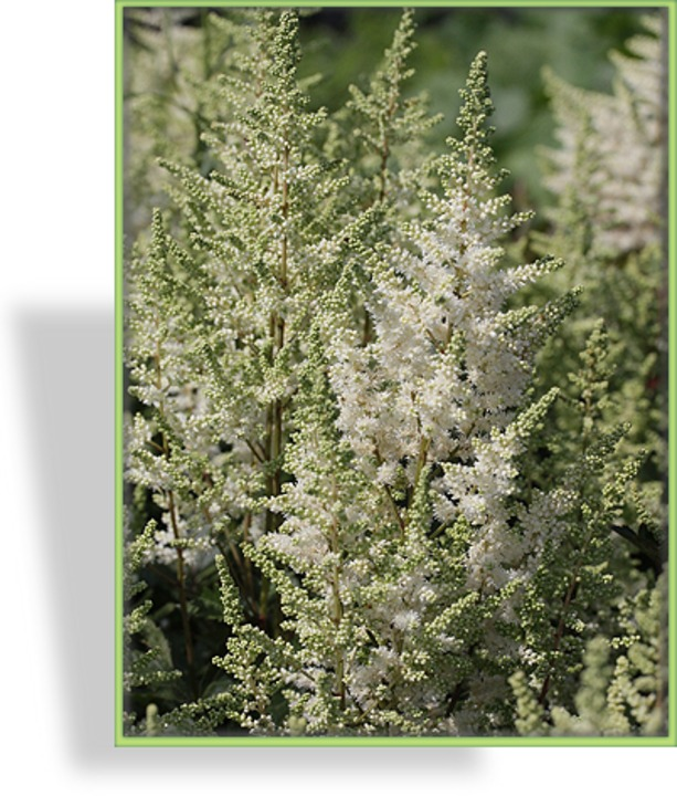 Prachtspiere, Astilbe hybride 'Younique White'
