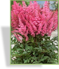 Prachtspiere, Astilbe hybride 'Younique Pink'