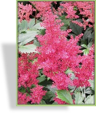 Prachtspiere, Astilbe hybride 'Younique Cerise'