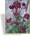 Sterndolde, Astrantia major 'Ruby Wedding'