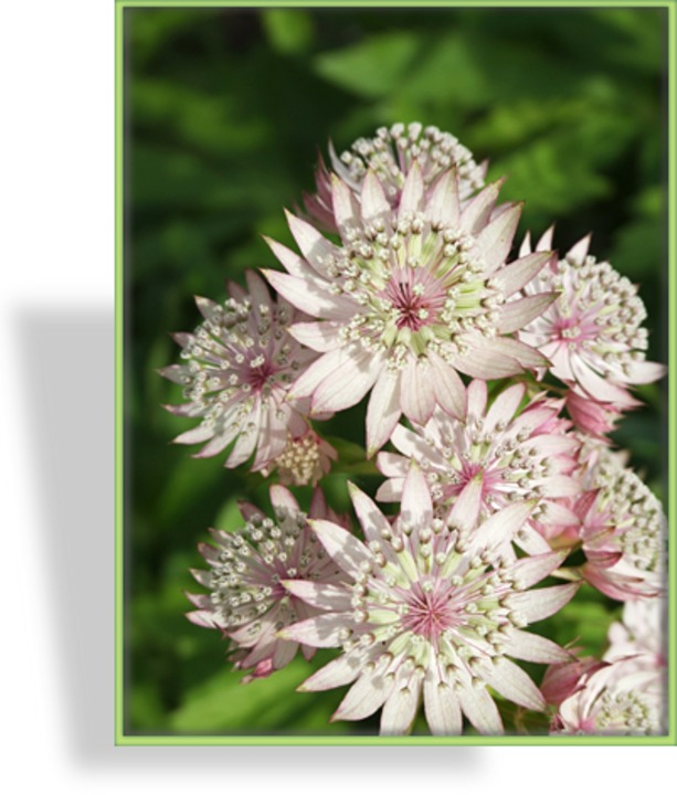 Sterndolde, Astrantia major