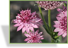 Sterndolde, Astrantia major 'Roma'