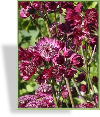 Sterndolde, Astrantia major 'Star of Beauty'