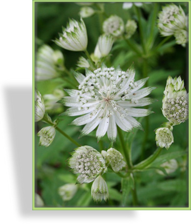 Sterndolde, Astrantia major 'Alba'