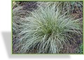 Segge, Carex albula 'Frosted Curls'