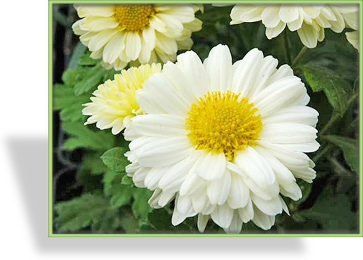 Chrysantheme, Chrysanthemum x hortorum 'Poesie'