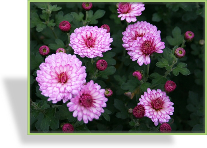 Chrysantheme, Chrysanthemum x hortorum 'Mei-kyo'
