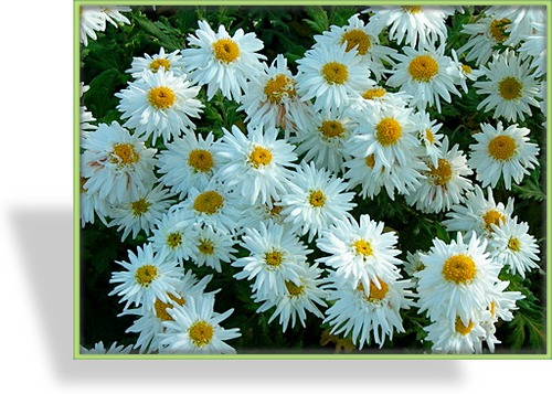 Chrysantheme, Chrysanthemum x hortorum 'Schneewolke'