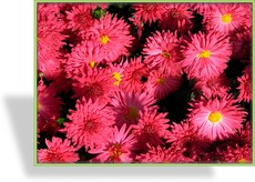Chrysantheme, Chrysanthemum x hortorum 'Vesuv'