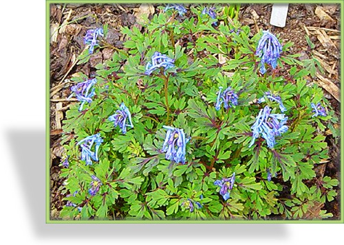 Lerchensporn, Blauer Lerchensporn, Corydalis flexuosa