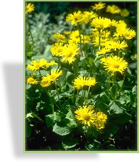 Gemswurz, Doronicum orientale 'Little Leo'