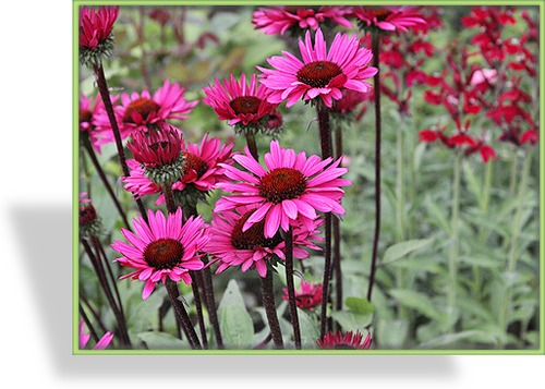 Sonnenhut, Echinacea purpurea 'Fatal Attraction'
