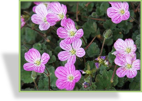 Reiherschnabel, Erodium variabile 'Bishops Form'