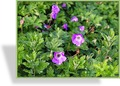 Storchschnabel, Geranium wallichianum 'Silvias Surprise'