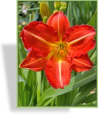 Taglilie, Hemerocallis x cult. 'Red Rum'
