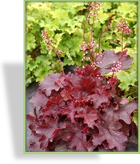 Purpurglöckchen, Heuchera micrantha 'Fire Chief'