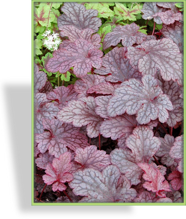 Purpurglöckchen, Heuchera hybride 'Plum Pudding'