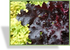 Purpurglöckchen, Heuchera hybride 'Black Beauty'