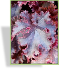 Purpurglöckchen, Heuchera hybride 'Melting Fire'
