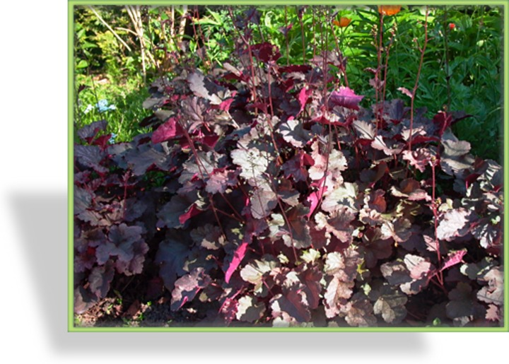 Purpurglöckchen, Heuchera micrantha 'Palace Purple'