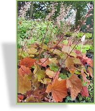 Purpurglöckchen, Heuchera villosa 'Brownie'