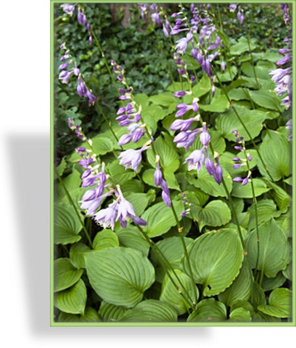 Funkie, Duftfunkie, Hosta hybride 'Honey Bells'