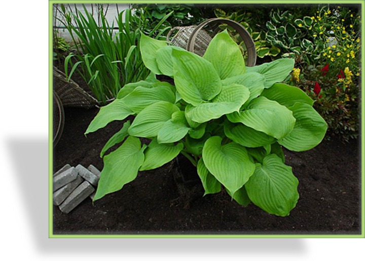 Funkie, Hosta hybride 'Sum and Substance'