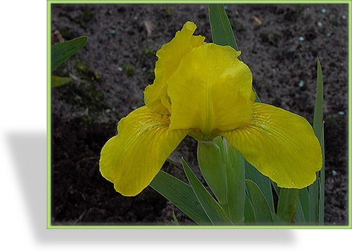 Zwergschwertlilie, Iris barbata-nana 'Path of Gold'
