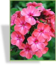Phlox, Flammenblume, Phlox paniculata 'Orange Perfection'