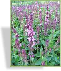 Ziersalbei, Salvia nemorosa 'New Dimension Rose'