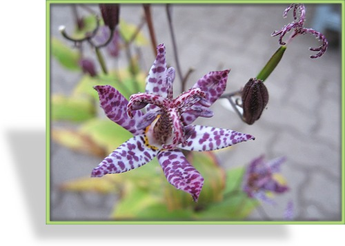 Krötenlilie, Tricyrtis Hybride 'Purple Beauty'