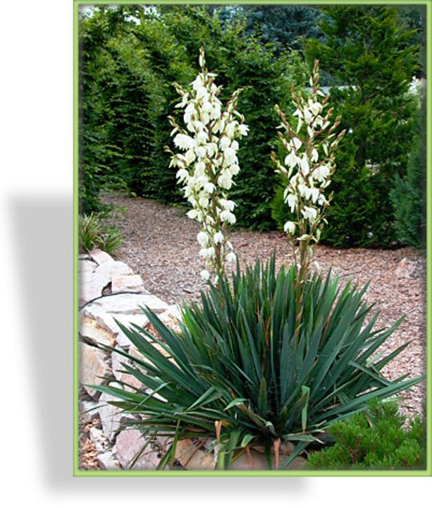 Blühende Yucca Palme