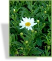 Margerite, Sommermargerite, Leucanthemum maximum 'Dwarf Snow Lady'