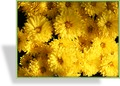 Chrysantheme, Chrysanthemum x hortorum 'Friederike'