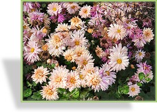 Chrysantheme, Chrysanthemum x hortorum 'Apricot'