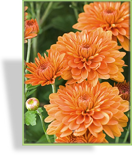 Chrysantheme, Chrysanthemum x hortorum 'Für Elise'