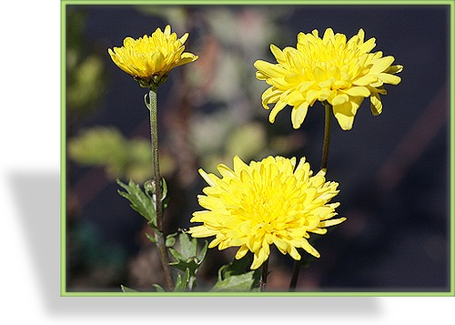 Chrysantheme, Chrysanthemum x hortorum 'Juliane'