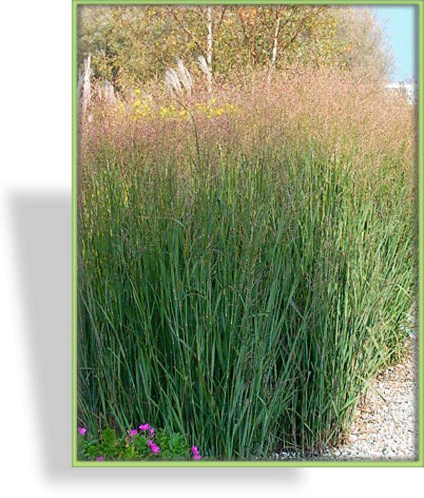 Panicum virgatum 1 x Staude Pflanze Rutenhirse PRAIRIE SKY