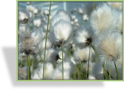 Ziergras, Scheiden-Wollgras, Eriophorum vaginatum