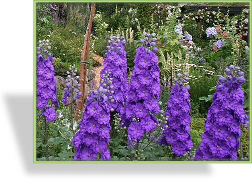 Rittersporn, Delphinium pacific 'Black Knight'